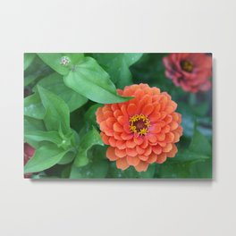 Zinnia Flower Stages of Life (Photography: Vibrant Florals) Metal Print