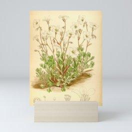 Flower 6640 saxifraga camposii Mini Art Print