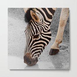 African Wildlife: Zebra 1 Metal Print