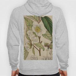 Stewartia sinensis, Theaceae Hoody