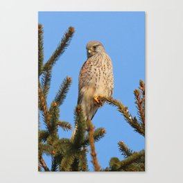 hawk sits on a tree and watching prey Canvas Print
