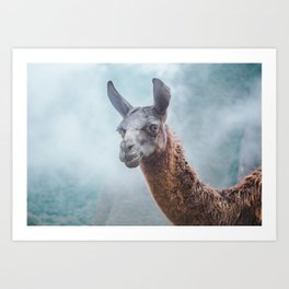 Curious, wise looking guanacao / llama on a blue misty morning in the Andes mountains, Peru Art Print