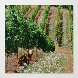 gracie in the vineyard Canvas Print