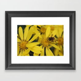 Busy Bumble Bee on Yellow Flowers Framed Art Print