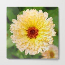 Beautiful Yellow Marigold Goldbloom Close Up  Metal Print