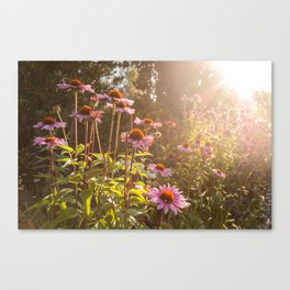 Sun setting on purple coneflower garden with bee on flower Canvas Print