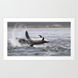 Jumping (breaching) Wild bottlenose dolphin tursiops truncatus. Art Print