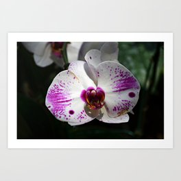 Orchid | Nature | Chiang Mai | Thailand Art Print