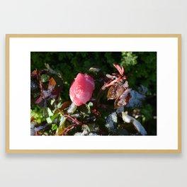 Snow on Rose Bloom Framed Art Print
