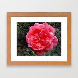 A Rose Is A Rose Framed Art Print