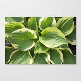 Hosta Plant Canvas Print