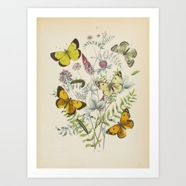 BUTTERFLIES LEPIDOPTERA Clouded Yellow Pieridae - Wall Art Decor Natural History Print - Insects Art Print