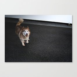 Husky Run Canvas Print