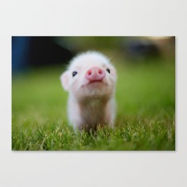 Little Pig Canvas Print