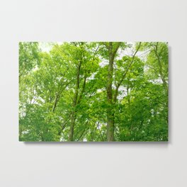 New green leaves of a Japanese zelkova tree Metal Print