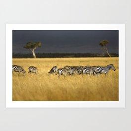 Zebra in Afternoon Light Art Print