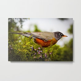 American Robin by Reay of Light Metal Print