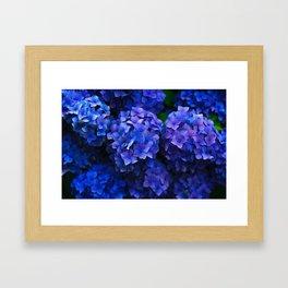 Royal Blue Hydrangea Flowers In Bloom Framed Art Print