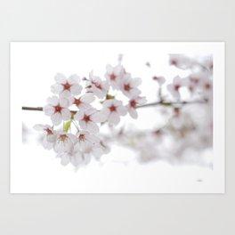 Cherry Blossoms #01 Art Print
