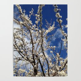 Apple Blossoms Poster