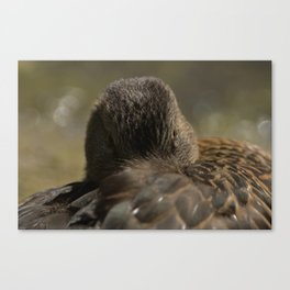 Mallard resting in its feathers Canvas Print