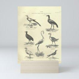 Chinese Jacana, Horned Screamer, Freycinets Mankirio, Sultana-bird, White Sheathbill, Red Flamingo, Collared Pratincole15 Mini Art Print