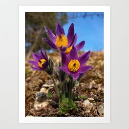 common pasque flower Art Print