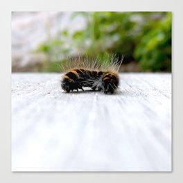 Wannabe Tiger (Fox Moth Caterpillar) Canvas Print