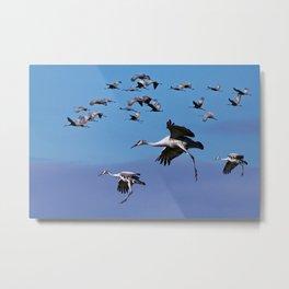 Flock of Sandhill Cranes landing during Migration in Southwest Michigan Metal Print