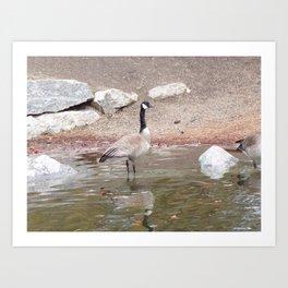 Majestic Fellow, Beautiful Canadian Goose On Pond,Wildlife Art Print