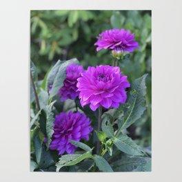 Purple flower in Butchart's Garden Poster