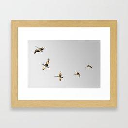 Australian Pelican flight Framed Art Print