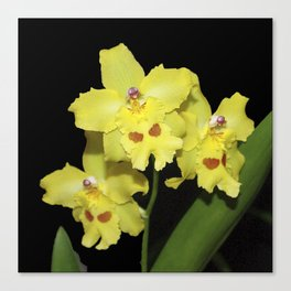 Glorious Golden Orchid - Odontonia Yellow Parade Alpine Canvas Print