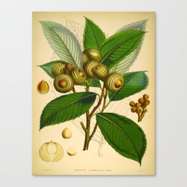 Vintage Scientific Illustration Himalayan Tree Nuts Scientific Illustration Canvas Print