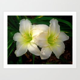 Glowing white daylily flowers - Hemerocallis Indy Seductress Art Print