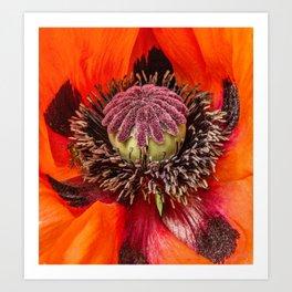 Poppy Heart 2 Art Print