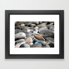 Blue Footed Booby 2 Framed Art Print