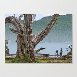 JUNIPER TREE NEAR ANACORTES PACIFIC NORTHWEST Canvas Print