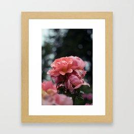 Roses and Raindrops: Peach Framed Art Print