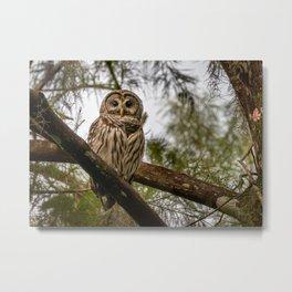 Barred Owl in Cypress Trees Metal Print