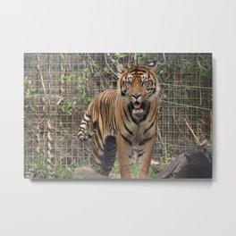Prowling Tiger Metal Print