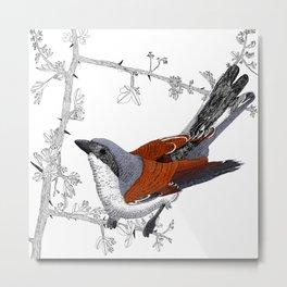 Red-Backed Shrike Metal Print
