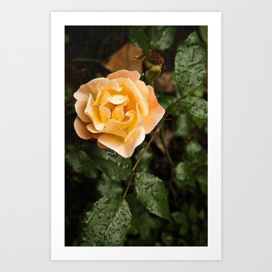Rose 1 Art Print