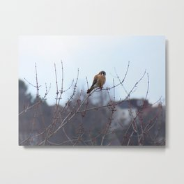 Sparrowhawk (Kestrel) 1 Metal Print