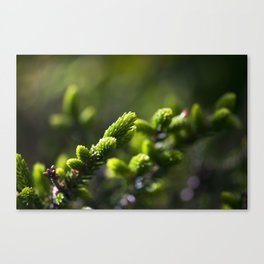 Evergreen II Canvas Print