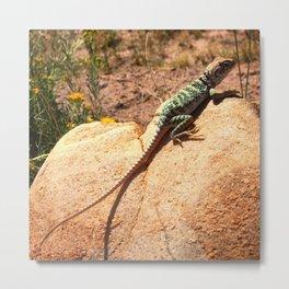 Collared Lizard Metal Print