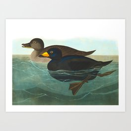 Scoter Duck Vintage Scientific Bird & Botanical Illustration Art Print
