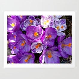 flowering crocuses Art Print