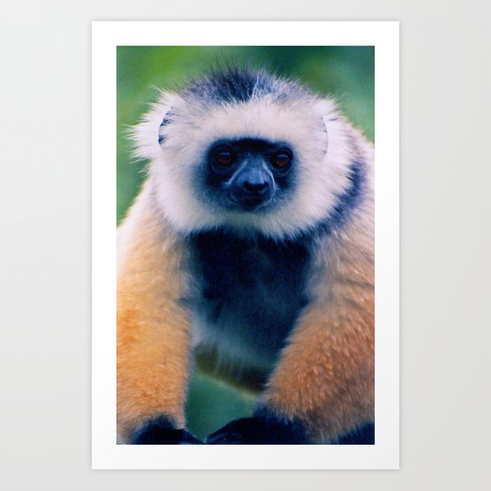 Diademed Sifaka Art Print