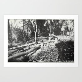 Vintage Photo Print - California Tanbark Oak (1911) - Tanoaks Stripped of their Bark Art Print